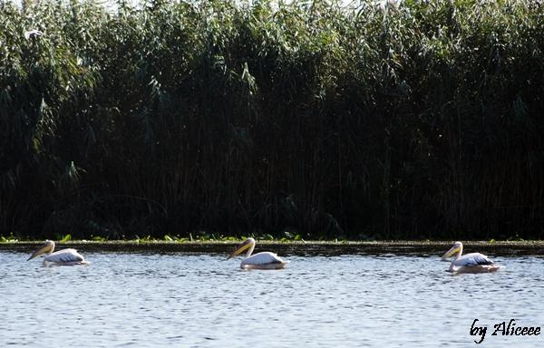 pelicani-delta-dunarii-pasari-excursie-canale