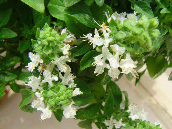 Albahaca flor