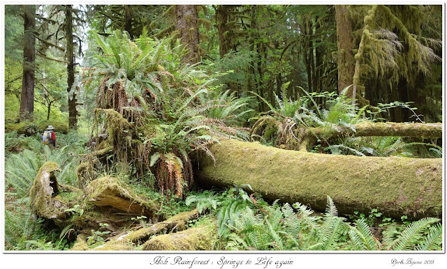 Hoh Rainforest: Springs to Life Again