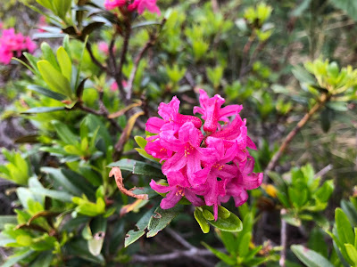[Ericaceae] Rhododendron ferrugineum – Alpenrose (Rododendro rosso).