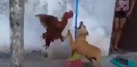 Απίστευτη μάχη μεταξύ σκύλου και κόκκορα με νικητή τον....ΒΙΝΤΕΟ
