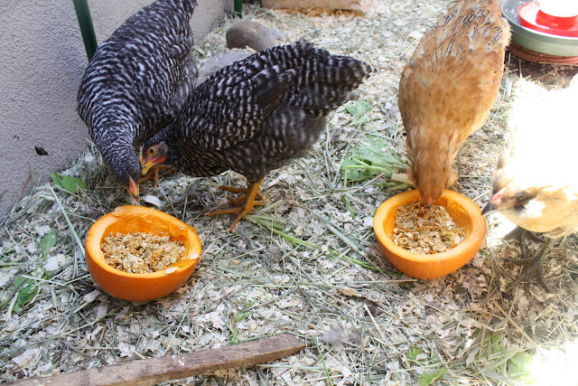 feed pumpkin seeds to chickens