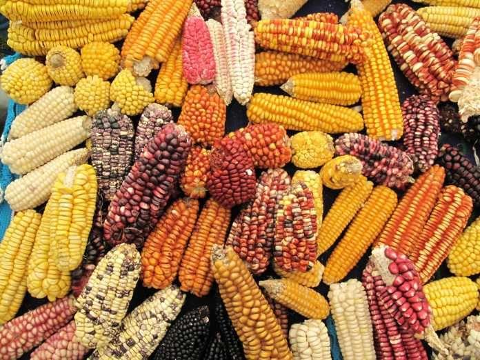 Resultado de imagen para Bolivia El maíz transgénico pone en riesgo variedades nativas