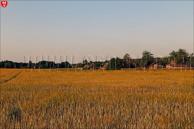 Ганцевичи. Хлебное поле