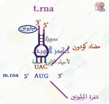 تخليق البروتين – أحياء الثالث الثانوى -  معقد بناء البروتين – الريبوسومات – T.RNA  -  M.RNA  - كودون البدء – الميثيونين