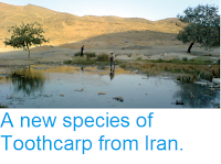 https://sciencythoughts.blogspot.com/2012/08/a-new-species-of-toothcarp-from-iran.html
