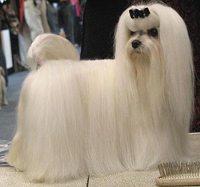 Bichon con el pelo largo