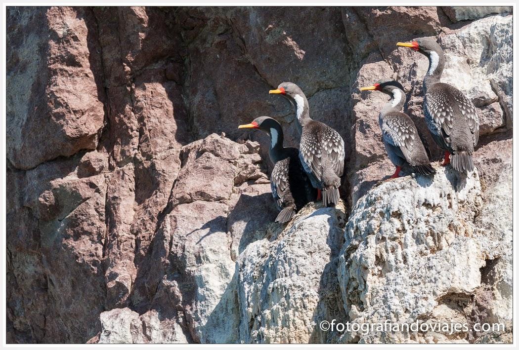 cormoranes en la roca