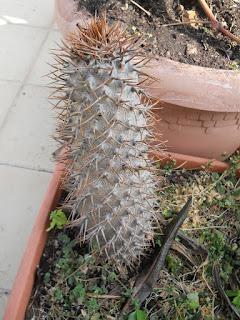 cactus pachypodium