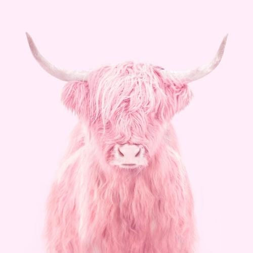 """Higland Cow"" imagen por Paul Fuentes | cool stuff, pictures, trends | imagenes chidas imaginativas bonitas"