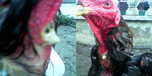 Unik! Ayam Jago yang Memiliki Jalu di Leher