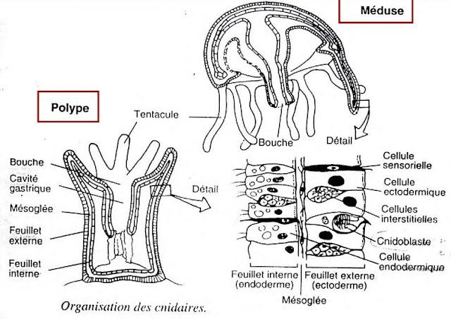 alternance des stades POLYPE/MEDUSE