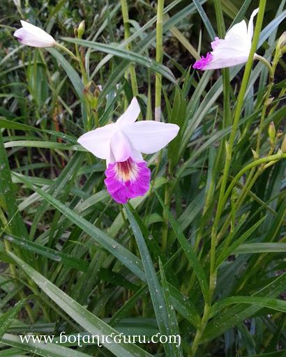 Arundina graminifolia, Bamboo Orchid
