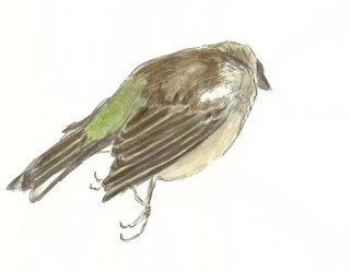 Watercolour and pencil female chaffinch study