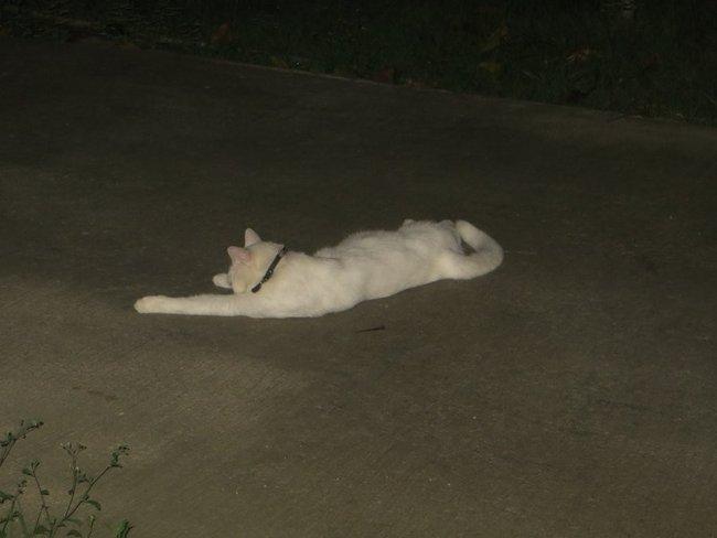 Белый кот ночью лежит на дороге