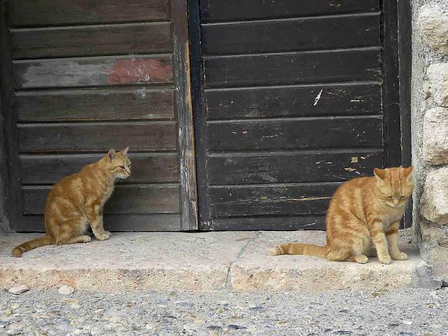 veľké a tučné mačička