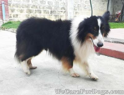 Frank - Shetland Sheepdog - Sheltie