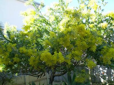 Chạm cõi Mimosa