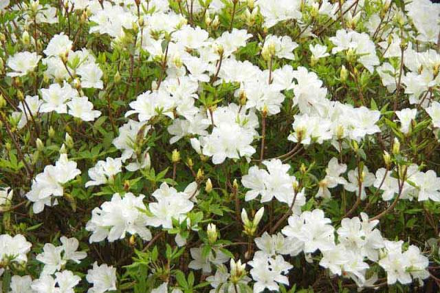 whire azaleas, flowers