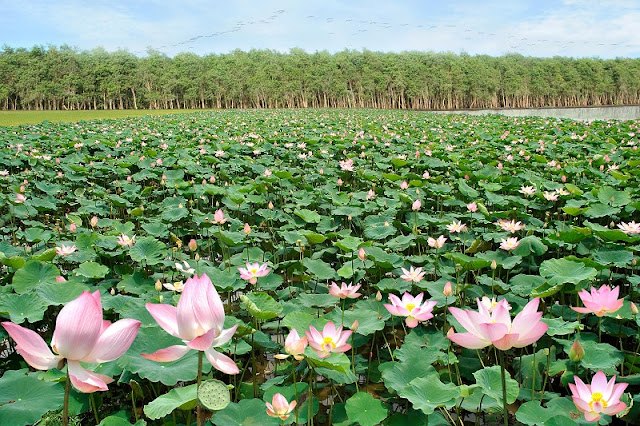 "Come to Dong Thap province to enjoy ""The lotus flower season"" 1"