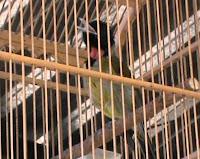 Harga Burung Samyong Garugiwa Gacor