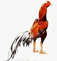 ayam bangkok thailand