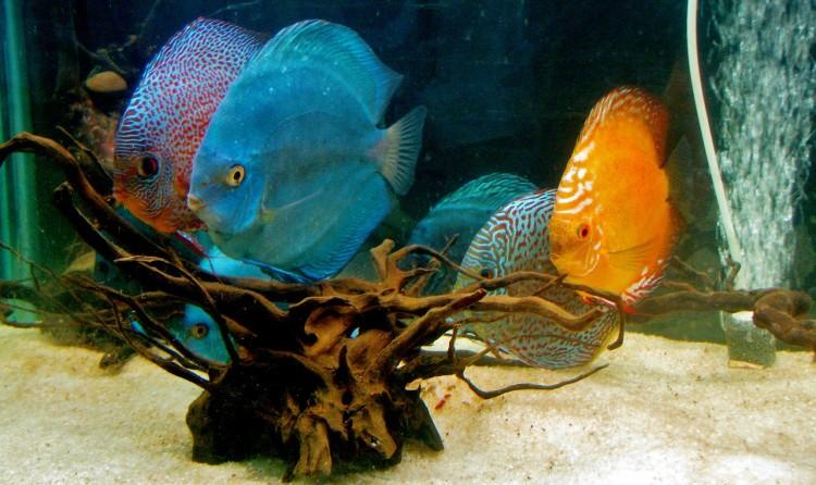 Dunia Ikan Hias - Ikan Air Tawar Discus