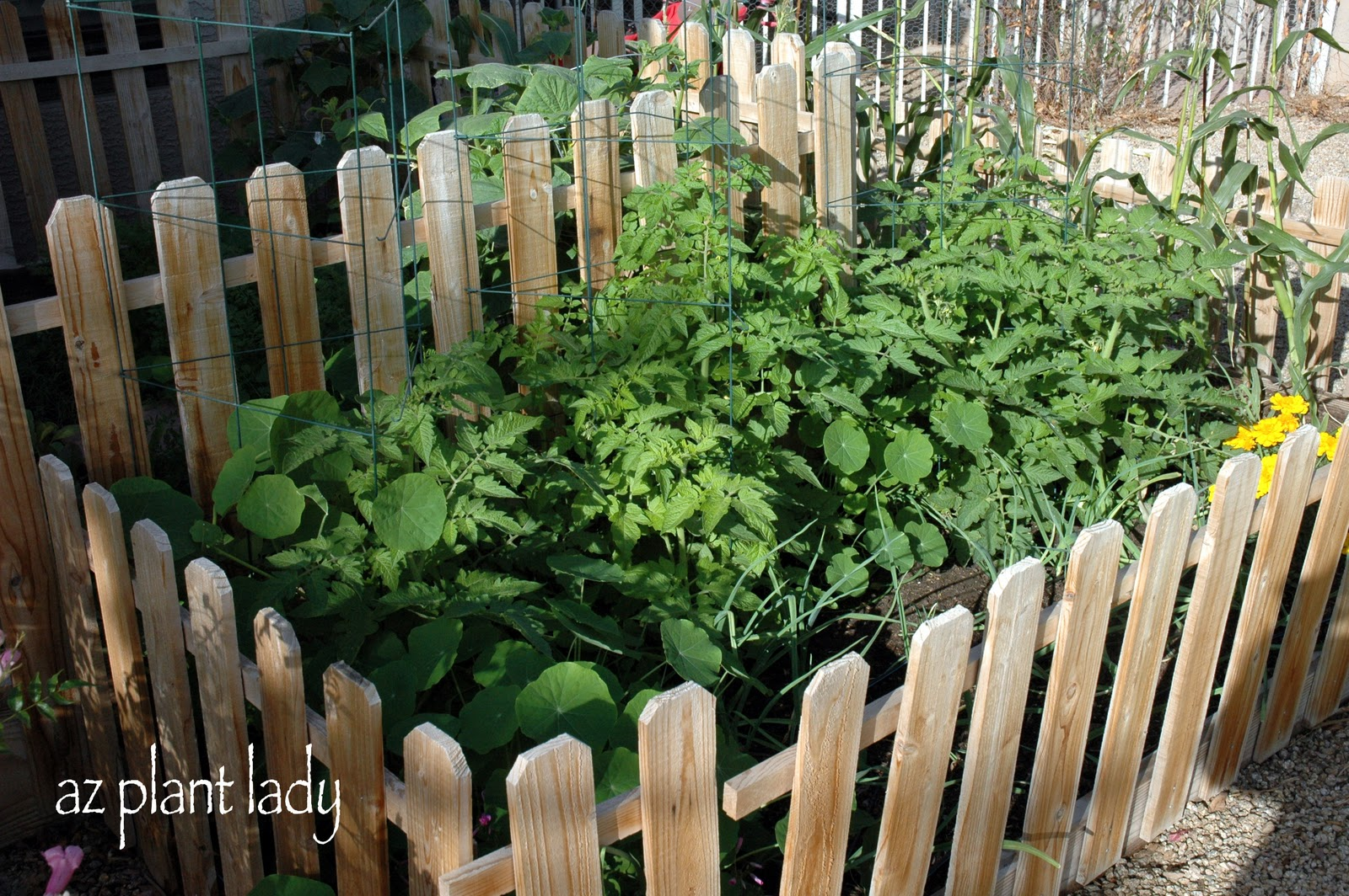My Winter (& Spring) Tomatoes - Ramblings from a Desert Garden