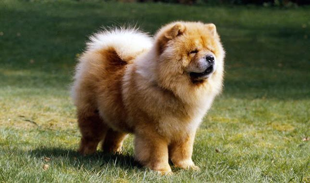 Bảng xếp hạng 10 loài chó đắt nhất thế giới