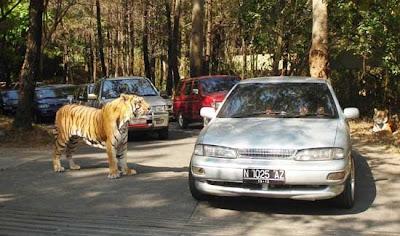 harimau taman safari