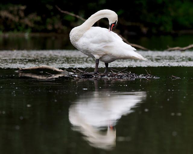 schwan höckerschwan