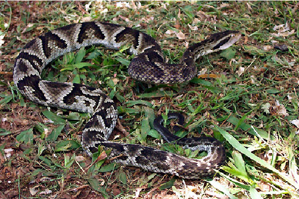 Cobra-Jararaca (Bothrops jararaca)
