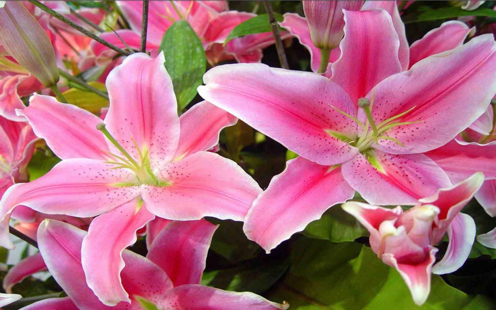 Ý nghĩa hoa ly Đà Lạt