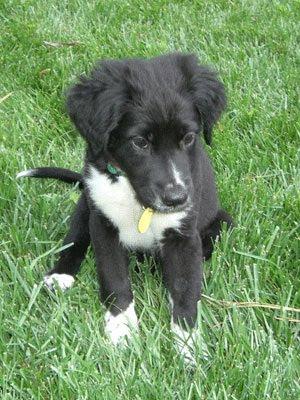 Flat Coated Retriever Mix Puppies For Sale - Goldenacresdogs com