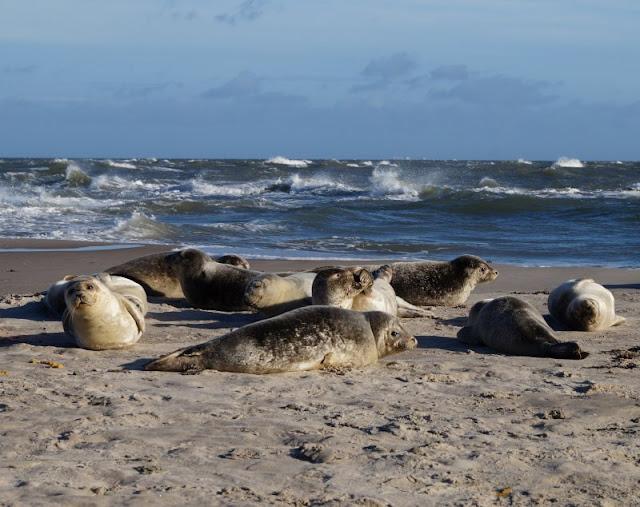 Tipps für einen Tag rund um Skagen. Teil 1: Råbjerg Mile und Grenen. Es gibt viele Seehunde bzw. Seerobben rund um Grenen, bitte haltet Abstand!