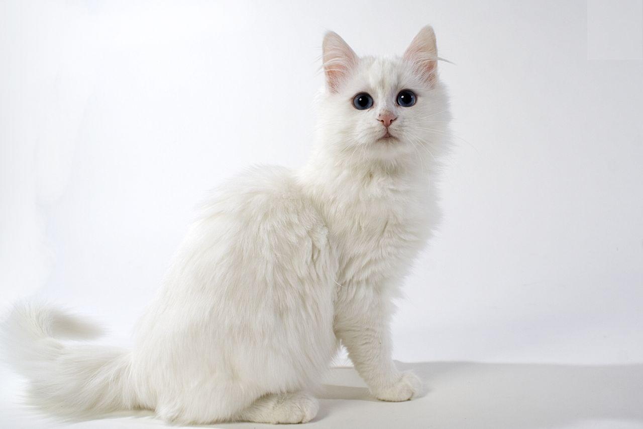 50 Jenis Kucing Di Dunia Beserta Sejarah Lengkap Berita Seputar