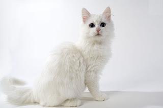 gambar kucing Anggora, Turkish Angora