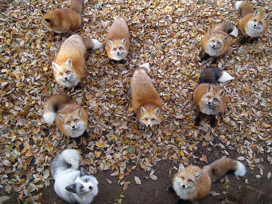 zao fox village japan adorable photos