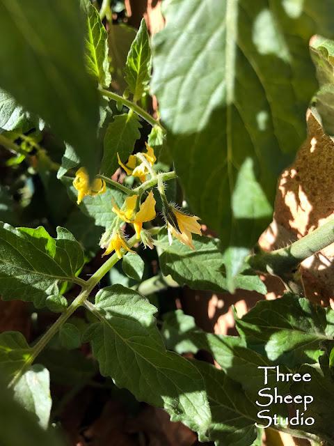 Sunsugar Yellow Cherry Tomatoes