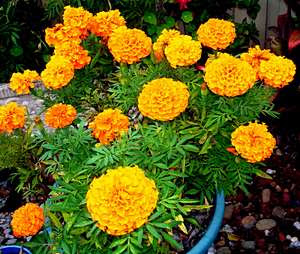 Orange marigolds growing in a pot