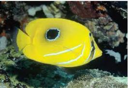 Ikan Hias Air Laut Butterflyfish