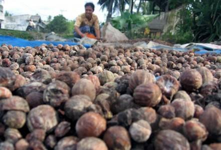 Produksi Pala di Aceh Barat Daya Memprihatinkan