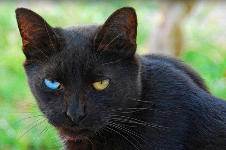 Siyah kediler, beyaz renkli hemcinslerine göre daha sakindir.