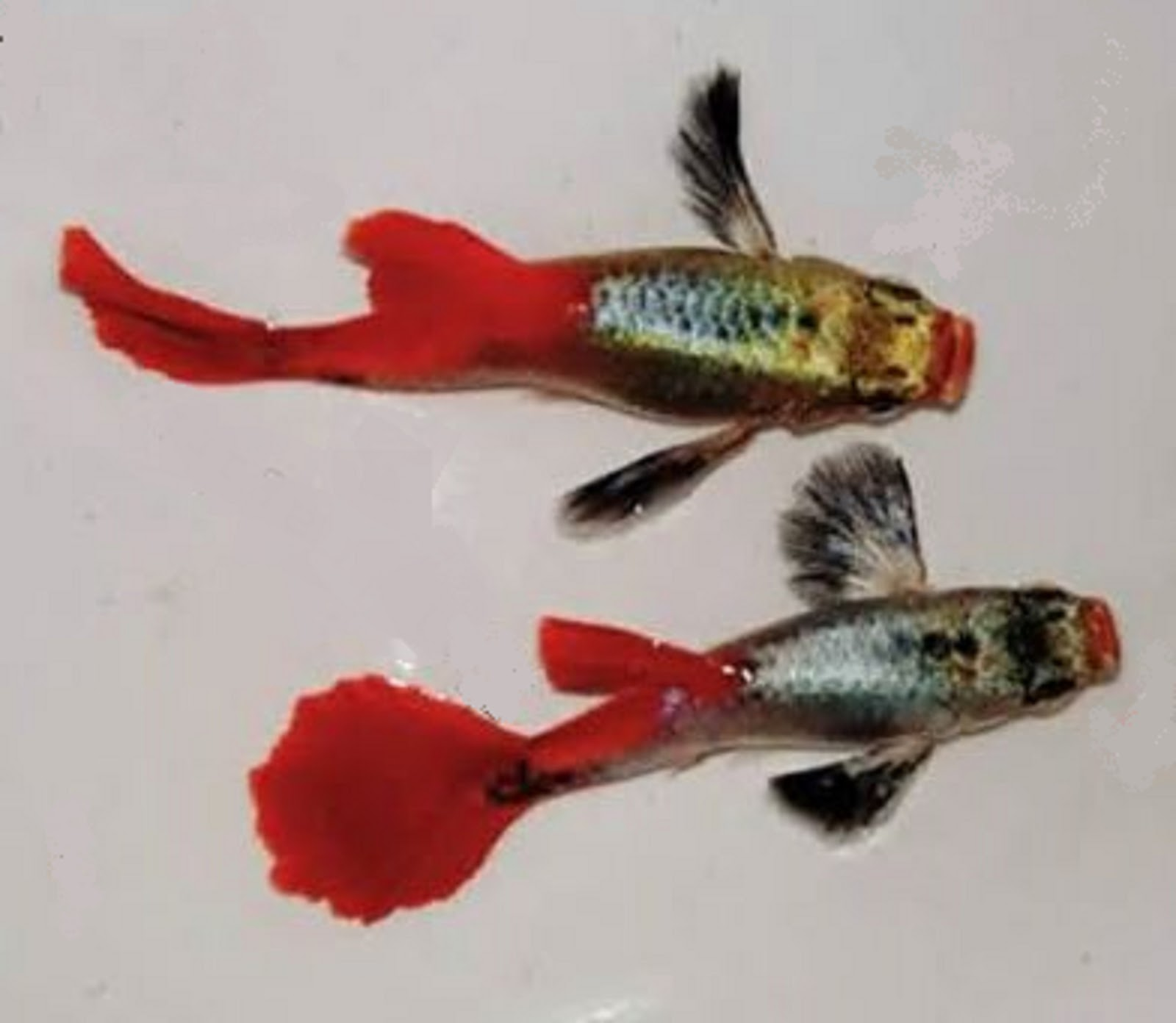 TOP BEAUTIFUL GUPPIES FISH COLLECTION FISH TANK AQUARIUM