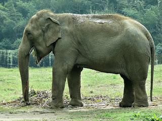 Elefante indiano no Parque Zoológico de Sapucaia