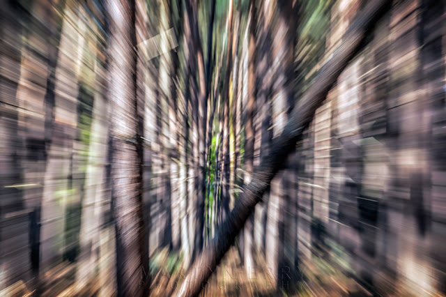 Pine trees of Lynford Arboretum camera movement in Norfolk