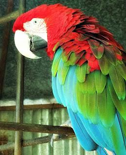 Arara Vermelha, Mini Zoológico de Aves - Santiago, RS