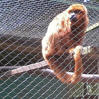 Bugio Ruivo no Zoológico do Parque da Gruta em Santa Cruz do Sul