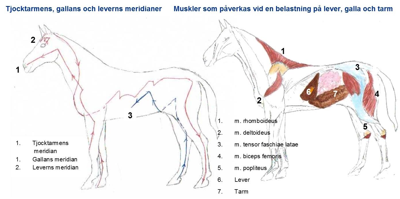 mag och tarm häst