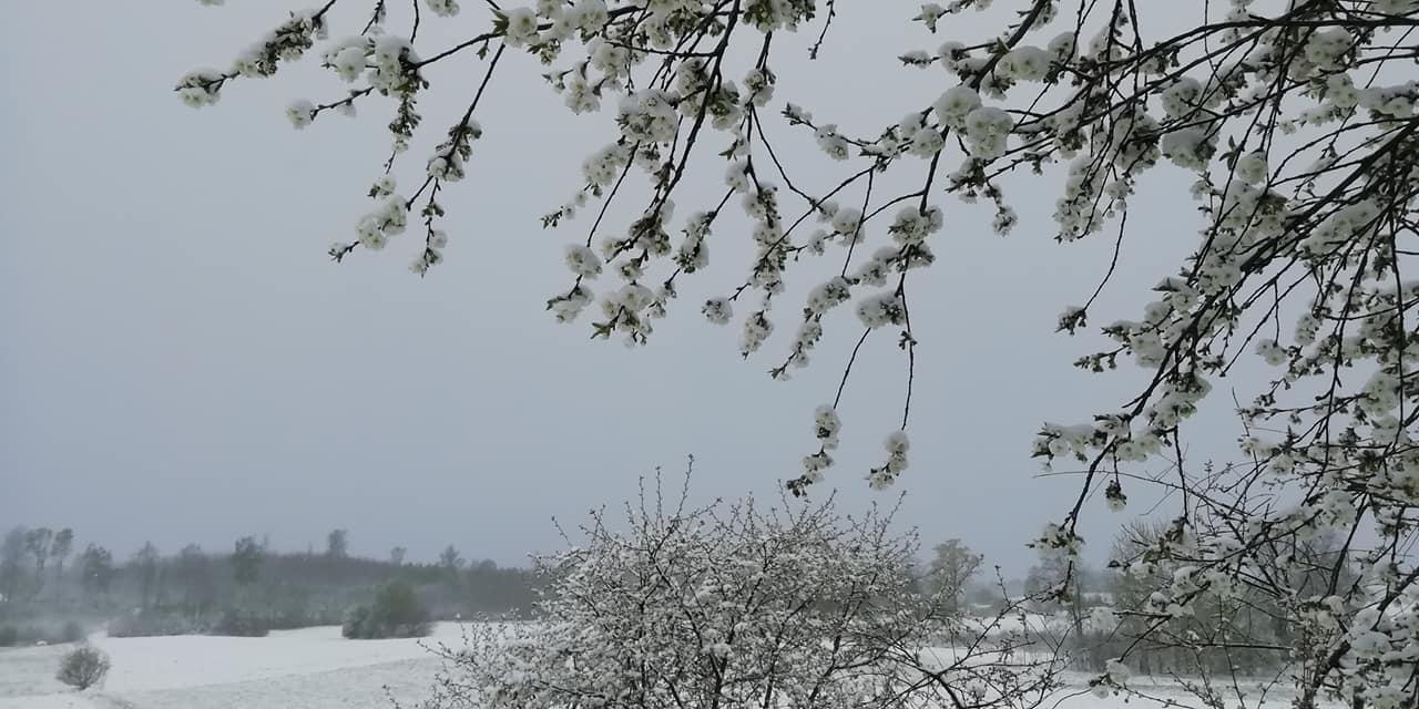Sniegs maijā klāj uzplaukušos ziedus 2
